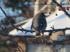 Bohemian Waxwing In Crab Apple 03